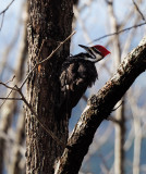 PZ080201 pileated woodpecker