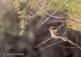 Red Backed Shrike (Female)