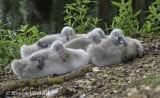 Wildfowl - Swans, Geese & Ducks