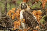 Red-tailed Hawk 2018a.jpg