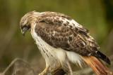 Red-tailed Hawk 2018b.jpg
