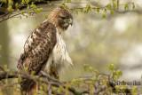 Red-tailed Hawk 2018c.jpg