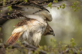 Red-tailed Hawk 2018d.jpg