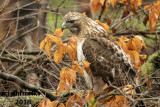Red-tailed Hawk 2018f.jpg