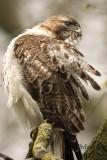 Red-tailed Hawk 2018g.jpg