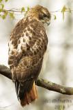 Red-tailed Hawk 2018h.jpg