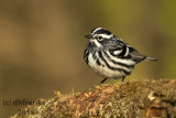 Black and White Warbler 2018a.jpg