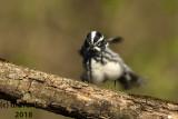 Black and White Warbler 2018b.jpg