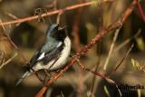 Black-throated Blue Warbler 2018b.jpg