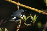 Black-throated Blue Warbler 2018c.jpg