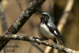 Black-throated Blue Warbler 2018e.jpg