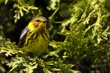Cape May Warbler 2018a.jpg