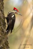 Pileated Woodpecker 2018a.jpg
