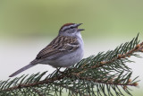 Bruant familier / Chipping Sparrow (Spizella passerina)