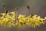 Forsythia de Mandchourie / Mandchurica Forsythia (Forsythia mandshurica)