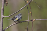 Paruline à croupion jaune / Yellow-rumped Warbler female (Dendroica coronata)