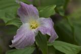 Trille blanc / Large-flowered Trillium (Trillium grandiflorum)