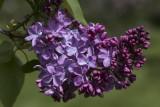 Lilas familier / Common Lilac (Syringa vulgaris)