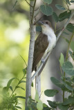 Coulicou à bec noir / Black-billed Cuckoo (Coccyzus erythropthalmus)