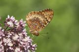 Argynne cybèle / Great Spangled Fritillary (Speyeria cybele)
