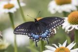 Papillon du céleri / Black Swallowtail (Papilio polyxenes)