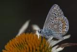 Bleu commun d'Europe / European Common Blue (Polyommattus icarus)