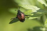 Scarabée japonais / Japanese Beetle (Popilia japonica)