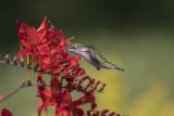 Colibri à gorge rubis / Ruby-throated Hummingbird (Archilochus colubris)