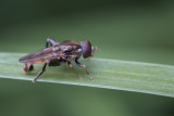 Syrphe / Hoverfly
