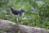 Chevalier grivelé / Spotted Sandpiper (Actitis macularia)