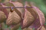 Coccinelle à 7 points / Sevenspotted Lady Beetle (Coccinella septempunctata)