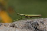 Mante religieuse / European Mantid (Mantis religiosa religiosa)