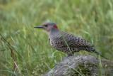 Pic flamboyant / Northern Flicker (Colaptes auratus)