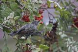 Étourneau sansonnet / European Starling (Sturnus vulgaris)
