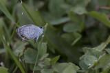 Bleu porte-queue de l'Est / Eastern Tailed Blue (Cupido camyntas)