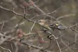 Paruline à croupion jaune / Yellow-rumped Warbler (Dendroica coronata)