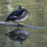 Canard branchu / Wood Duck (Aix sponsa)
