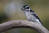 Pic mineur / Downy Woodpecker (Picoides pubescens)