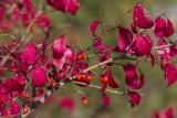 Fusain ailé / Winged euonymus (Euonymus alatus)