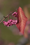Fusain d'Europe / Spindle Tree (Euonymus europaeus)