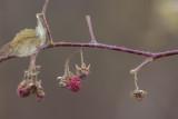 Framboisier sauvage / North American red raspberry (Rubus ideas strigosus)