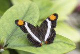 Adelpha fessonia / Band-celled Sister (Adelpha fessonia)