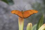 Flambeau / Julia (Dryas julia)