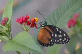 Papillon-tigre / Cream-spotted Tigerwing (Tithorea tarricina)