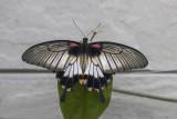 Porte-queue lowi / Lowi Swallowtail (Papilio lowi)