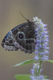 Morpho bleu / Blue Morpho (Morpho helenor)