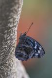 Myscelia ethusa / Mexican Bluewing (Myscelia ethusa)