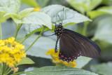 Battus lycidas / Cramer's Swallowtail (Battus lycidas)