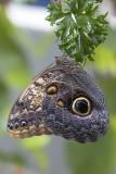 Papillon hibou / Giant Owl (Caligo memnon)