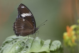 Bolina / Great Eggfly (Hypolimnas bolina)